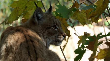 Eurasian Lynx and autumn leaves in background (scientific name Lynx lynx)