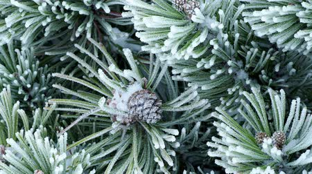 Winter frost on pine tree Stok Video