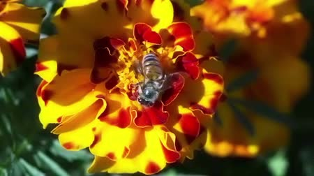 estame : Honey bee riding a red yellow flower closeup.