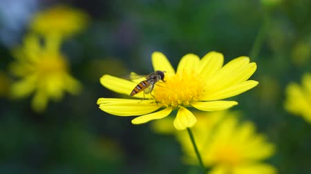 estigma : hoverfly with yellow flower
