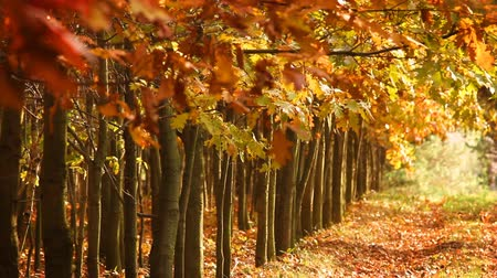 autumn : Forest path, autumn secenery Stock Footage