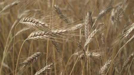 mellow autumn : Mature grain, ready to harvest. Cloudy sky