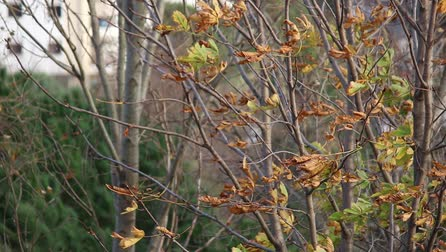 breezy : Leaves swaying in the autumn wind Stock Footage