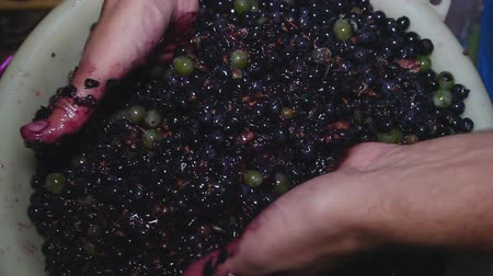 antikalar : Agronomist squeezes out juice from grapes by hands for chemical analysis.