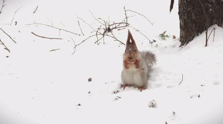 wiewiórka : Squirrel foraging for food in the snow.