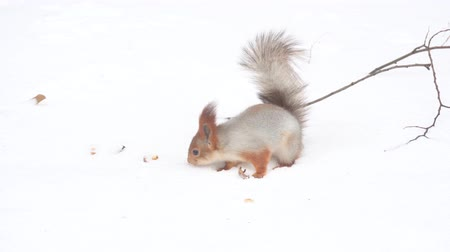 wiewiórka : Hokkaido Squirrel in Winter Mountain
