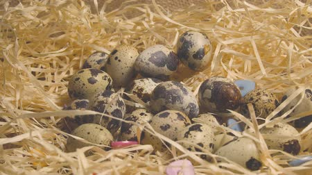 Eggs in the nest. Quail eggs lie on hay. Nest of wild birds on a green background.
