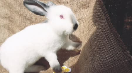 rabbit ears : Adorable little brown easter bunny holland lop eating a grass, at near Easter eggs. Close up shot Stock Footage