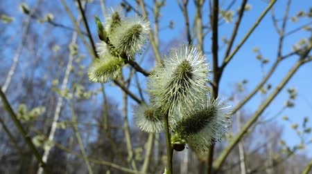 bichano : Willow against blue sky