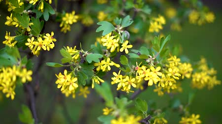 krzew : Bushes with small yellow flowers flutter in light spring wind.