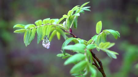 üvez ağacı : A white forest moth with pink and orange spots on its wings sits on a Rowan branch with green leaves swaying slightly in the spring wind. Stok Video