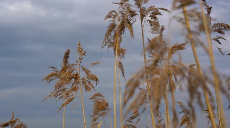kamış : Dry yellow reeds swaying in the wind on a cloudy day by the river.