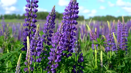 lupine : Beautiful large lilac forest flowers lupine with green leaves swaying in the wind in the meadow on a Sunny day against the blue sky with white clouds. Stock Footage