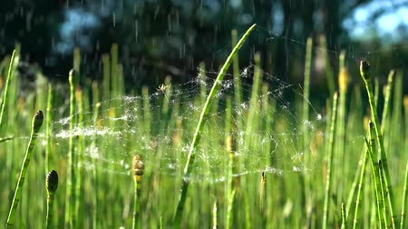 chmýří : Two small spiders on a light web during a light rain on a green horsetail on a Sunny day.