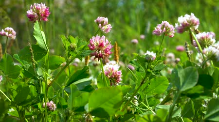jetel : Pink clover flowers swing among the green grass in a light wind on a clear Sunny day.
