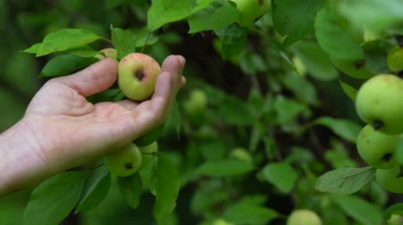 plucks : A mans hand Plucks a ripe Apple from a green tree on a summer day.