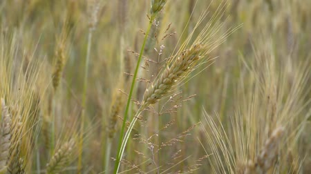 árpa : Spikelets of Golden wheat swaying in the light wind on a summer day in the field. Stock mozgókép