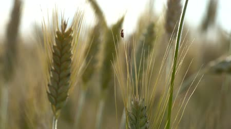 joaninha : A small red beetle crawls on ears of wheat that sway in the wind on a summer day in the field.