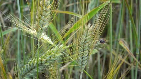 katicabogár : A little ladybug crawls on ears of wheat that sway in the wind on a summer day in the field. Stock mozgókép