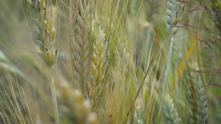 joaninha : A little ladybug crawls on ears of wheat that sway in the wind on a summer day in the field. Stock Footage