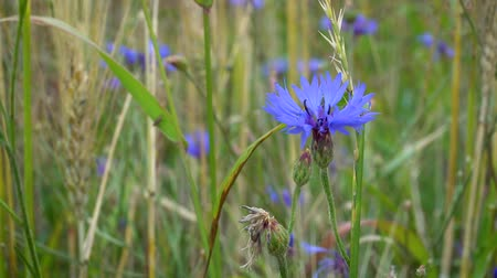 chabry : Blue flowers cornflowers swaying in the wind among the grass and ears of wheat on a Sunny summer day.
