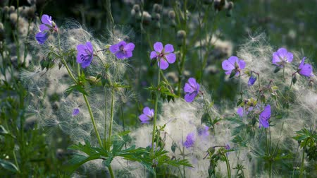 cardo : Beautiful forest flowers in a cannon of field plants quietly swaying in the summer wind.
