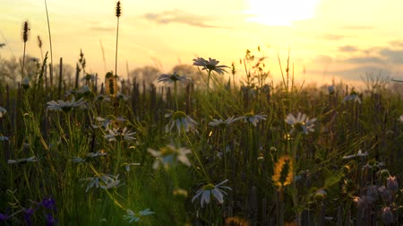 Beautiful meadow flowers stand quietly on a large forest meadow in calm weather on a warm summer evening at sunset.