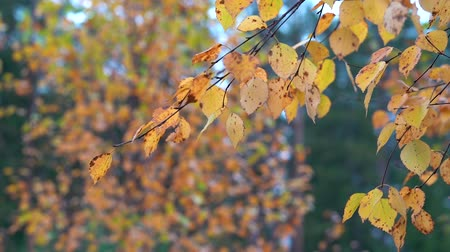 opadavý : Thin branches of birch with yellow dry leaves tremble in the Quiet wind in the Park on an autumn day.