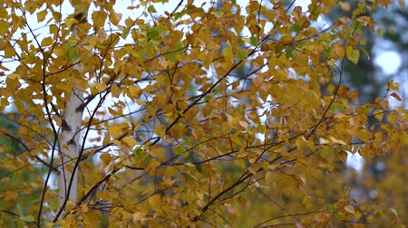 lombhullató : Thin branches of birch with yellow dry leaves tremble in the Quiet wind in the Park on an autumn day.