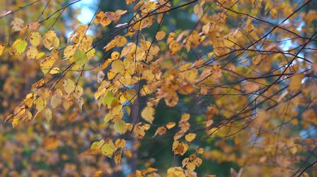 osika : Thin branches of birch with yellow dry leaves tremble in the Quiet wind in the Park on an autumn day.