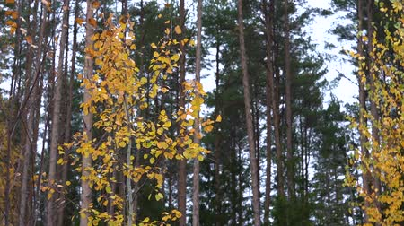 gałązki : Yellow dry autumn leaves flutter on a thin aspen in the autumn forest against the background of a pine forest in the evening.