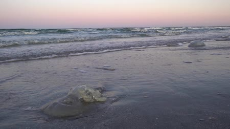 galaretka : Dead large jellyfish lie on a sandy beach in the incoming sea waves at sunset on a summer evening. Wideo