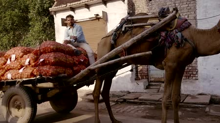 nomadic : VRINDAVAN, India - October 10, 2017: The driver of the cart pulled by a camel for transporting bags of potatoes. busy Indian street. Vrindavan. India. For editorial use only. Stock Footage
