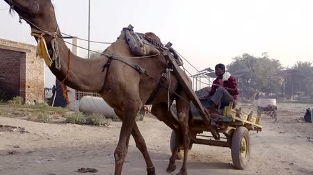 tur : VRINDAVAN, India - October 10, 2017: wooden cart harnessed to her camel carrying lime from the quarry in India. a man controls an animal. Vrindavan. India. For editorial use only.