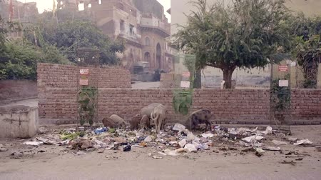 lavanderia : VRINDAVAN, India - October 10, 2017: flavor of life in India, scooter with European children passing by, is a fat man in a pile of garbage eating pigs. Vrindavan. India. For editorial use only.
