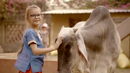 schooler : little schooler girl is playing with grey cow in indian yard in sunny day