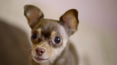havlama : cute small brown toy terrier is yelping in home, close-up of funny muzzle with round eyes Stok Video