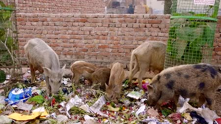 porquinho : Animals pigs on the street eating in the trash Stock Footage