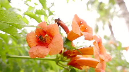 polinização : close up. the bee collected nectar in an orange flower and flew into the hive to form honey