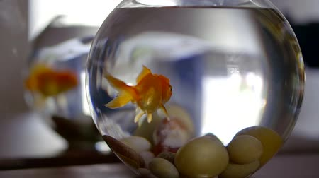 miska : Adult Goldfish Close Up Breathing, Slow Motion Underwater Shot In Home Aquarium