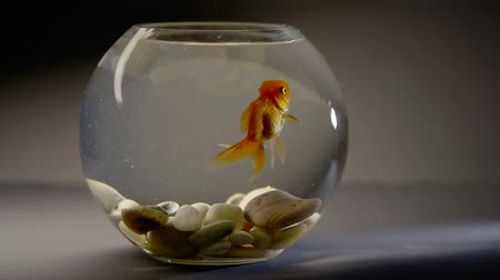 glass pitcher : Small fishbowl with goldfish placed on the table. Stock Footage
