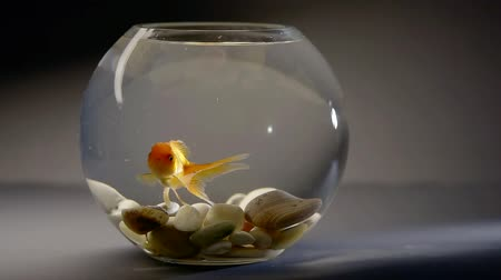 glass pitcher : Small goldfish swimming in a bowl on the table.
