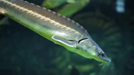экзотичность : Beautiful sturgeon fish swims in clear aquarium water in a flock of trout Стоковые видеозаписи