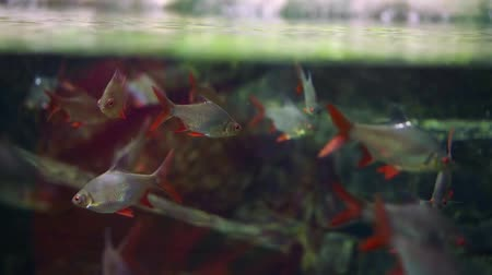 домашний интерьер : carp fish swim in a flock in a large aquarium. silver scales and red fins Стоковые видеозаписи