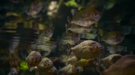 клык : close-up. a flock of predatory piranha fish under water