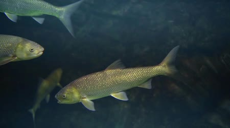 alga : Several exotic fishes swimming together deep in a tank, very little light. Stock Footage