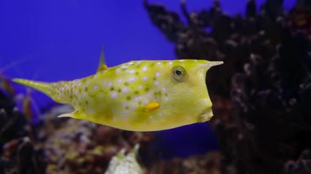 tail fin : Close-up shot of a beautiful weird yellow fish swimming in aquarium.