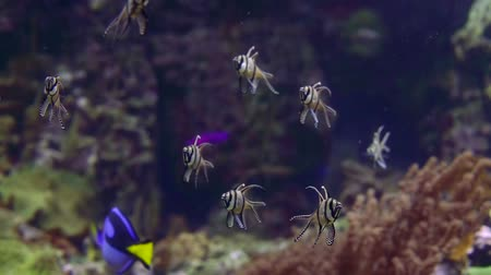 tropical insects : Several small exotic fishes in black stripe floating freely in tank.