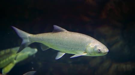 óceáni : grey river fish is floating in water of large aquarium, moving forward
