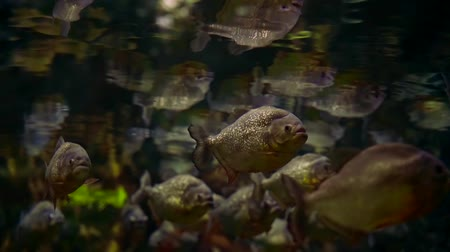 afloat : shoal of grey river fishes are keeping afloat fixedly under water surface